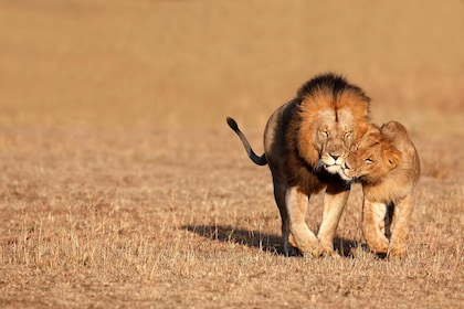 Lions at Inverdoorn Game Reserve in Cape Town