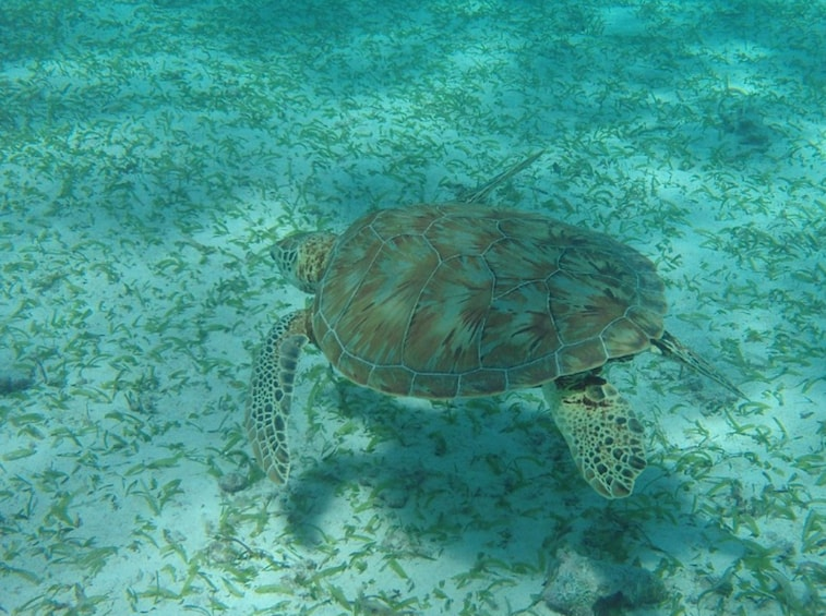 Show item 1 of 3. Turtle in the waters of the Hol Chan Marine Reserve in Belize