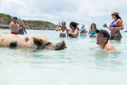 Pig approaches man in waters of Exuma, Bahamas