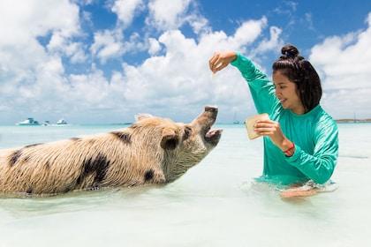 Woman feeds pig bread in waters of Exuma, Bahamas