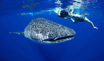 All-Inclusive Whale Shark Excursion Sailing Cruise