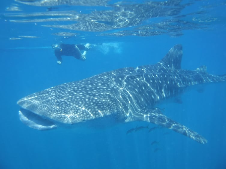 Show item 3 of 6. Person snorkeling near a whale shark in Cabo San Lucas
