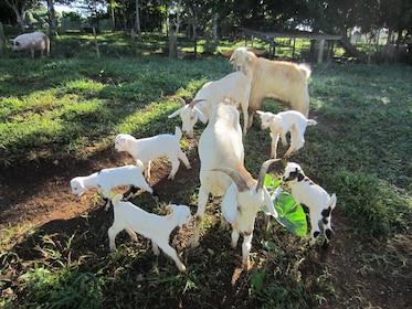 Herd of goats at Eden on the River in Port Vila
