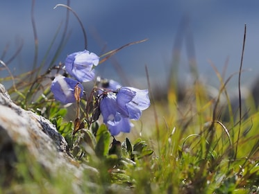 Close-up of Harebell in Moena