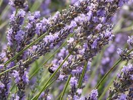 Lavender Tour Sault from Marseille