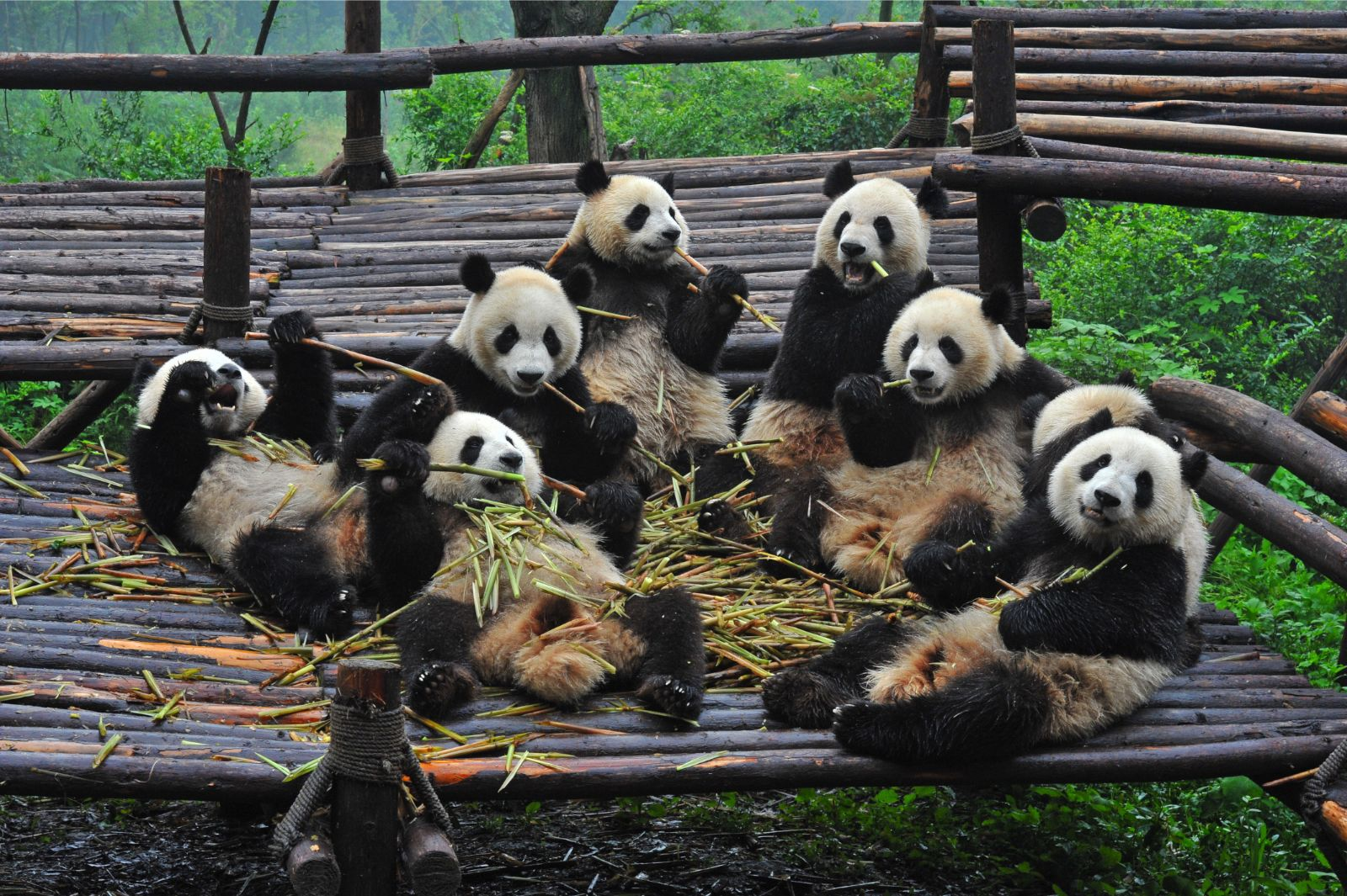 Chengdu Private Tour: Research Base of Giant Panda Breeding
