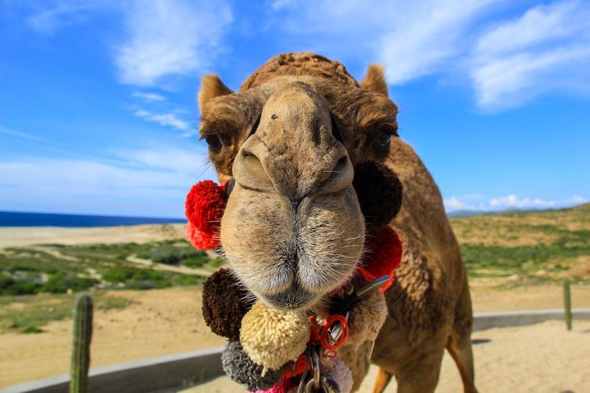 Show item 1 of 10. Camel Ride