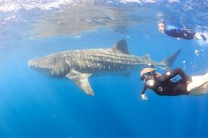 Whale Shark Safari