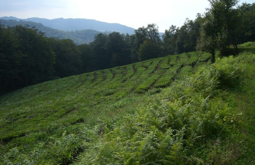 Show item 4 of 10. Unique Private Journey to a Tea Plantation from Sochi