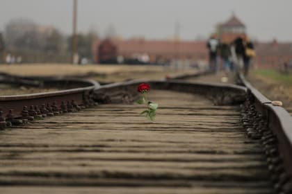 Red rose seen at the Memorial and Museum Auschwitz-Birkenau