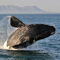 WHALE WATCHING IN HERMANUS TOUR