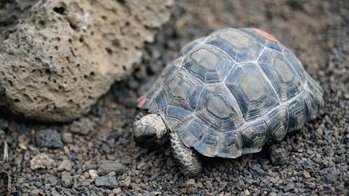 Tortoise in Ecuador