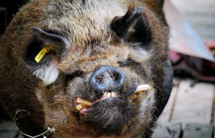 Kune Kune Pig.jpg