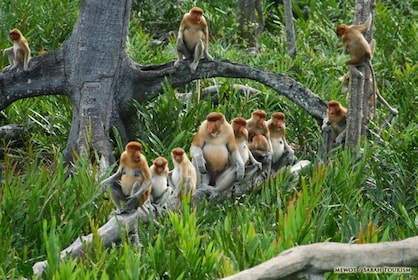 PROBOSCIS MONKEY RIVER CRUISE & FIREFLIES TOUR