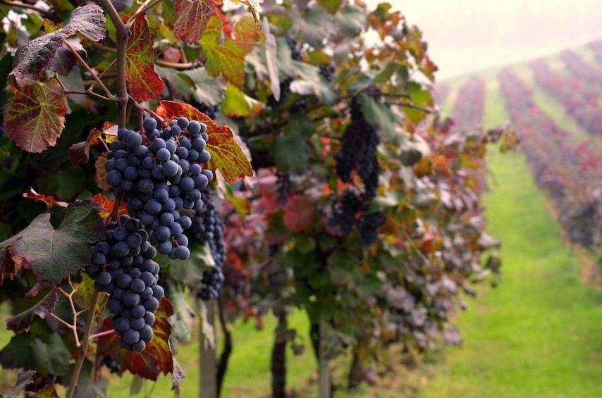 Vineyard in Guagnano