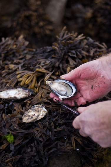 Show item 5 of 7. Person shucking an Oyster on a kelp covered rock