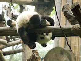 Chengdu Giant Panda Base and City Tour in 1 day