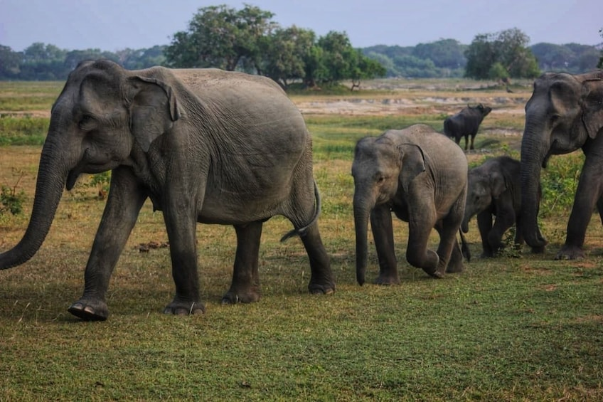 Show item 2 of 10. Yala National Park Safari from Galle & Weligama