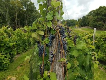 Grapes at Benmarl.jpg
