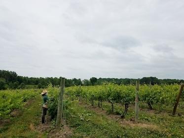 Whitecliff Vineyard with worker.jpg