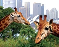 Taronga Zoo Ticket with Sydney Harbour Ferry Return