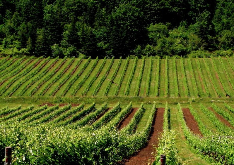 Show item 5 of 5. Private Vineyards of Nova Scotia