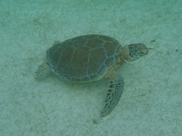 Marine Turtles Snorkel Private Tour