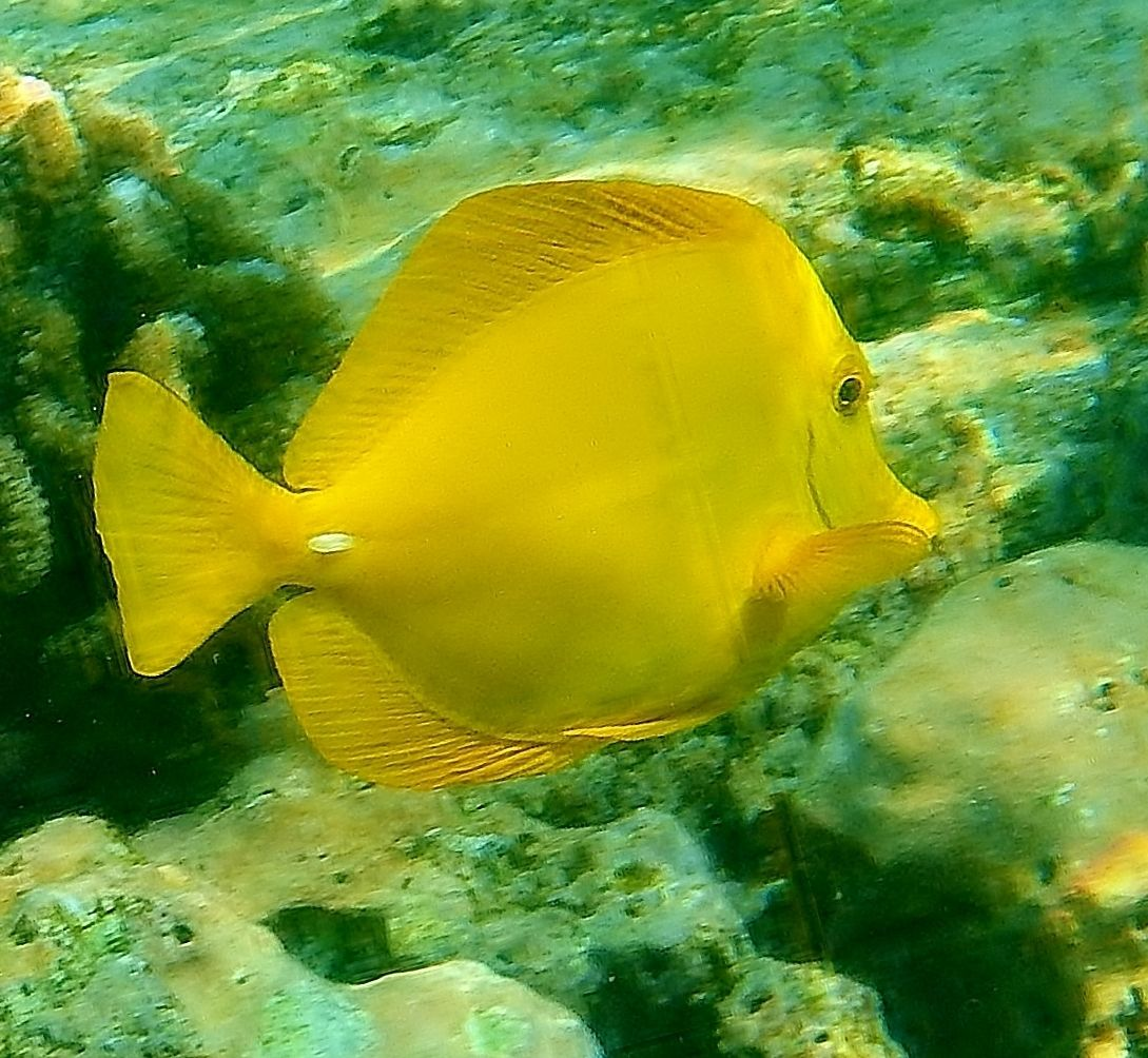 1Yellow Tang CLoseup.jpg