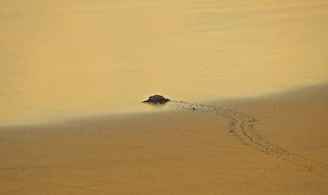 Zihuatanejo Baby Sea Turtle.jpg