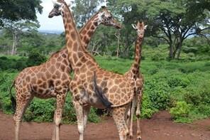 DAY TOUR TO GIRAFFE, ELEPHANTS AND BOMAS OF KENYA