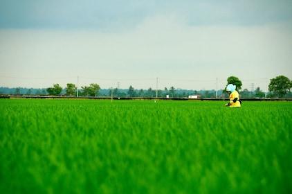 sekinchan paddy field 3.jpg