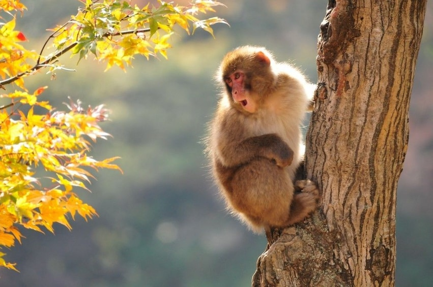 Show item 3 of 5.  3-DAY FROM/TO NAGANO: SNOW MONKEY & HISTORIC NAKASENDO WALK