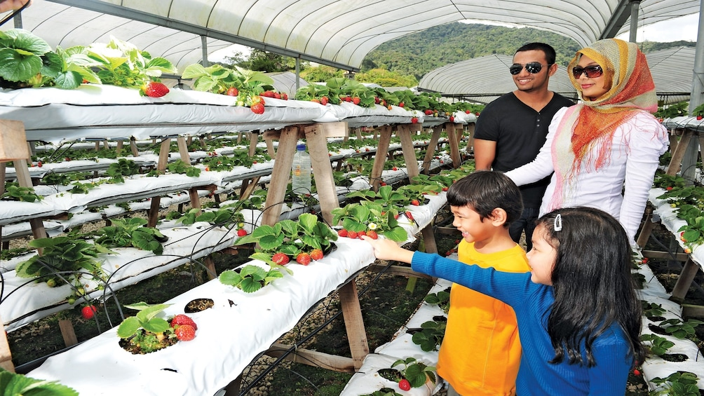 Family picking strawberries at a strawberry homestead in the Cameron Highlands area in Malaysia