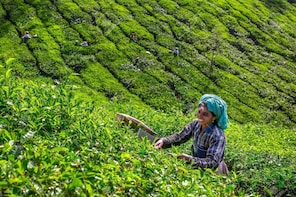 Munnar Tea Estate Tour with Guide and Cab