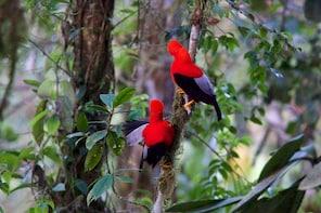 6 days - Mindo Cloud Forest Birding Photographic Tour