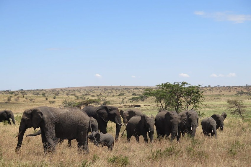 Show item 2 of 9. 6 Days Migration Safaris To Tarangire, Serengeti,Ngorongoro