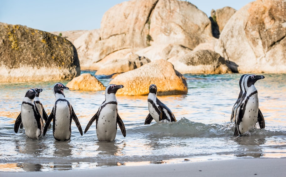 Show item 10 of 10. Cape Peninsula, Cape of Good Hope and Penguins Private Tour