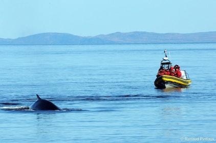2.5H Zodiac Whale Watching Cruise - Tadoussac or Baie-Ste-C.