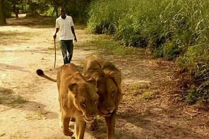 Walking with the Lions in Fathala Reserve