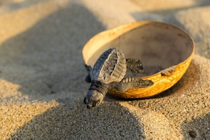 BABY SEA TURTLE RELEASE IN PUERTO ESCONDIDO