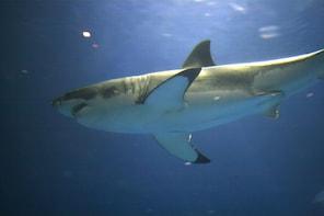 Great White Shark Tours