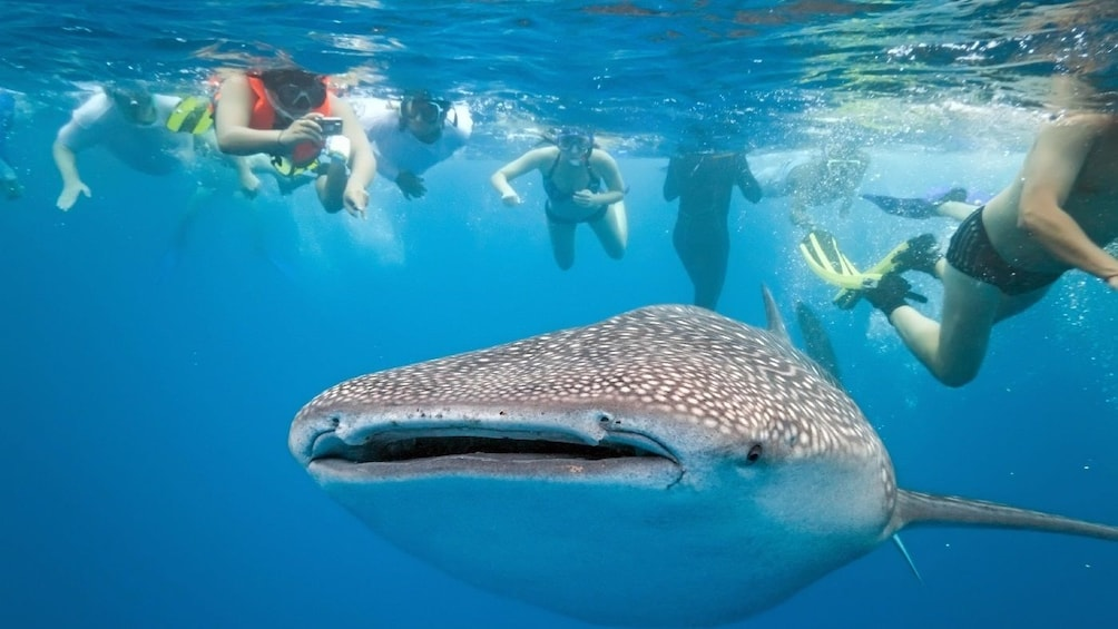 Show item 3 of 4. Oslob Whale Shark Watching Tour
