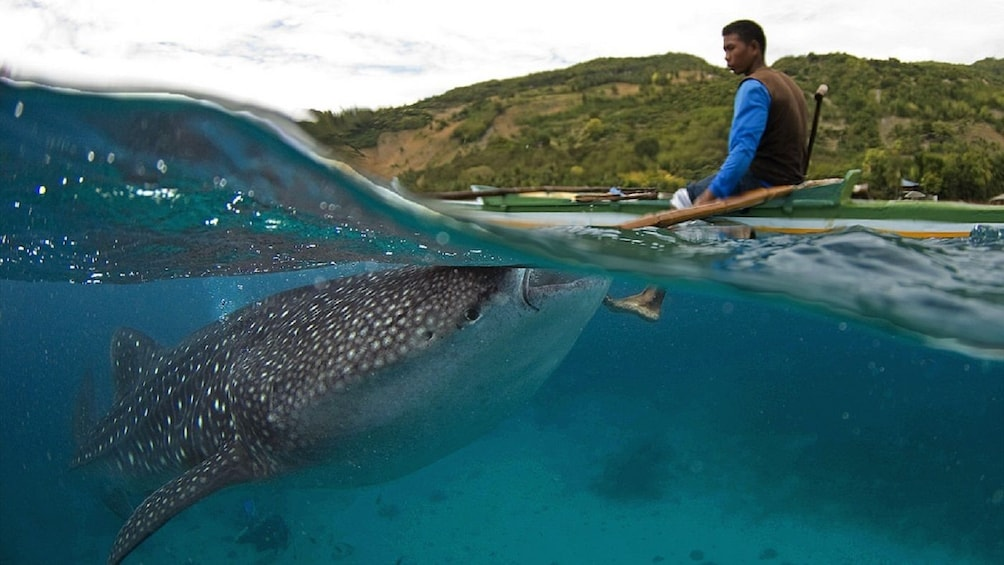 Show item 4 of 4. Oslob Whale Shark Watching Tour