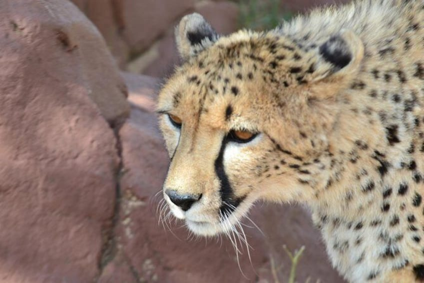 Show item 2 of 6. Cheetah at Rhino Park