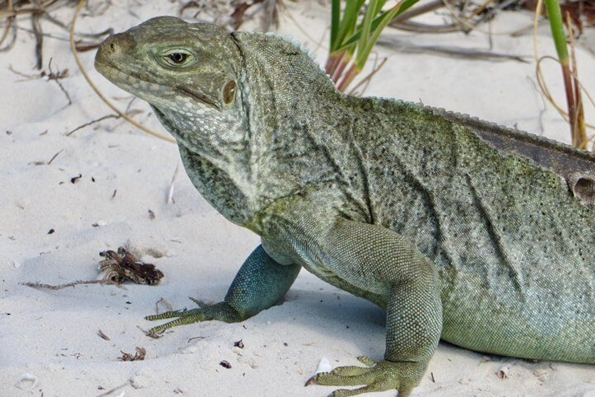 Explore Iguana Island