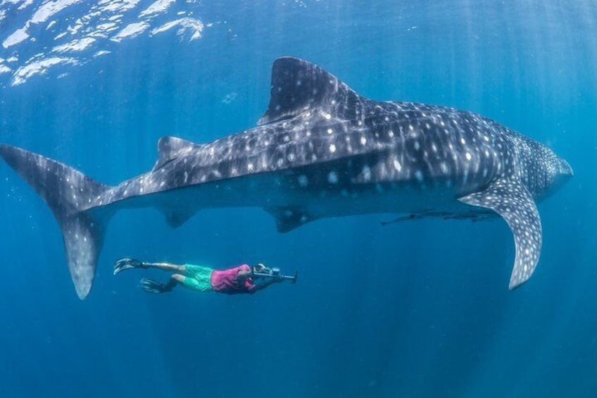 Whale Shark& Tumalog Falls & Pescador Island & Sardine Run & Turtle in One Day