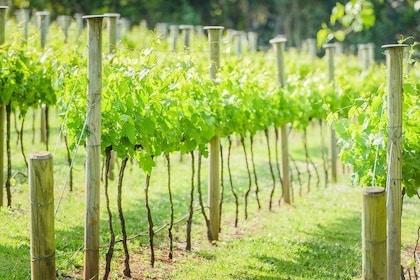 Wine tasting in the vineyards