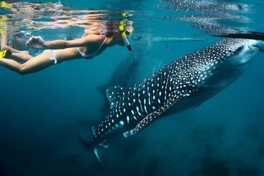 Show item 1 of 7. Cebu Whale Shark Watching Plus Kawasan Waterfalls