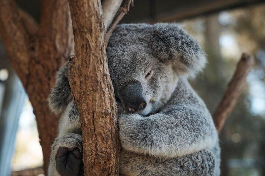 Koala - Taronga Zoo