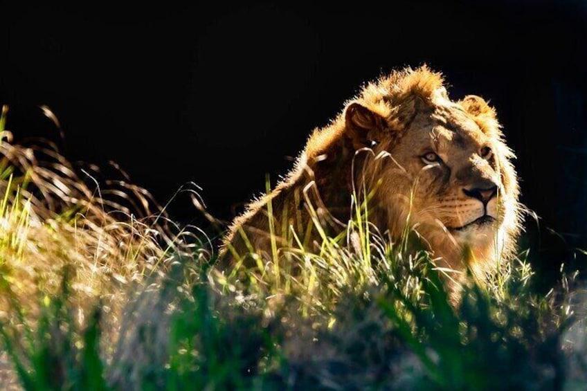 African Lion - Taronga Zoo
